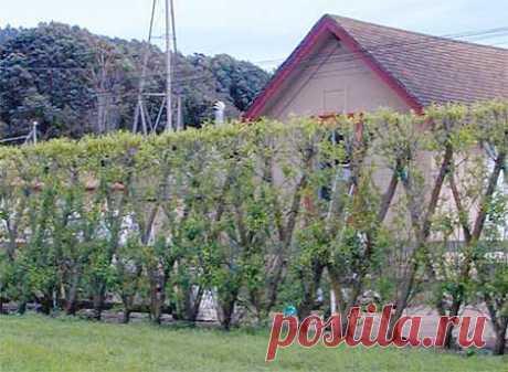 Живые садовые конструкции из ивы