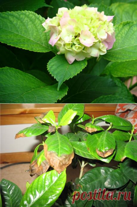 Что делать, если у гортензии желтеют листья: лечение растения — Мир Растений