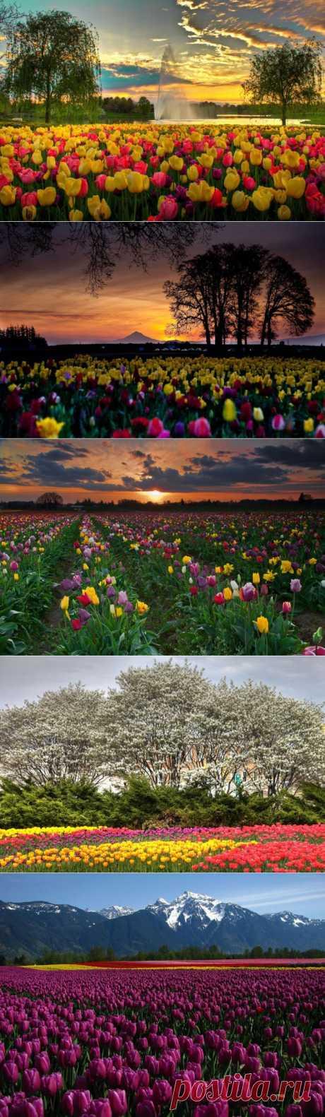 (+1) тема - Самые яркие тюльпаны со всего света | САД НА ПОДОКОННИКЕ