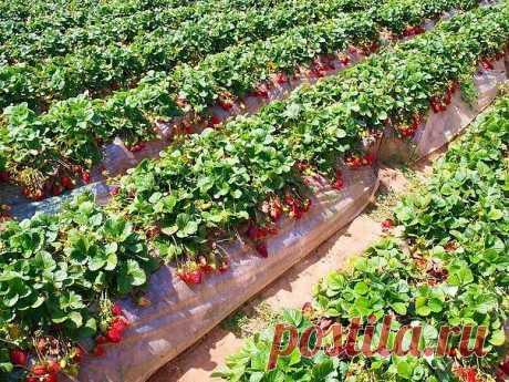 ПОЛЕЗНЫЕ СОВЕТЫ :  Как самостоятельно размножить клубнику.  1. Размножение клубники усами в рассадных горшочках Когда кусты клубники плодоносят, отметьте для себя самые сильные, развитые и перспективные для размножения растения. Уделите внимание плодам (ягодам), они должны быть примерно одинакового размера. Усы берите лучше с однолетних кустов клубники. Выберите розетки, посадите в рассадный горшочек (землю лучше использовать ту, в которой растение плодоносило), пришпильт...
