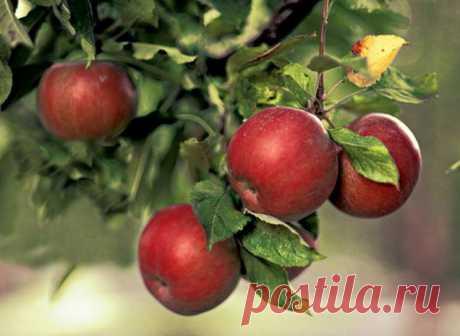 Болезни и вредители яблони.