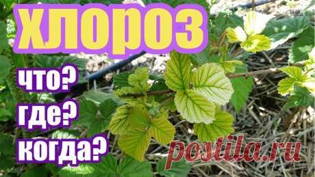 Хлороз на растениях. Чем вызван, когда появляется, как бороться. Часть 1 | ЕжеМарина | Яндекс Дзен