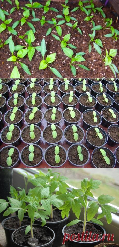 Маленькие секреты выращивания рассады — 6 соток