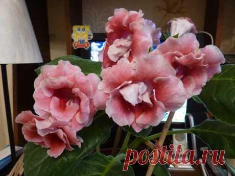 Цветут мои красотки :)