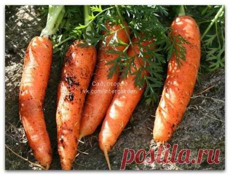 Марганцовка для морковки  Чтобы не привлечь морковную муху при прореживании моркови, нужно взять ведро воды и развести в нем 1 столовую ложку красного или черного молотого перца (хватит на 10 кв.м). Настаивать не нужно, лишь обрызгать морковь настоем перед прореживанием.  Если хотите получить урожай хорошей чистой моркови (без всякой гнили, заразы и т. д.) советую обязательно после второго прореживания в начале июля полить молодые растения водой (на ведро) с разведенной в ...