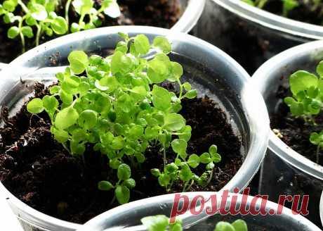 Как выращивать петунью.