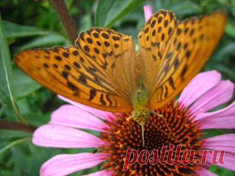 Рудбекия с бабочкой 2