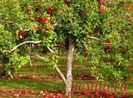 Основные способы омоложения яблони: правильная схема обрезок