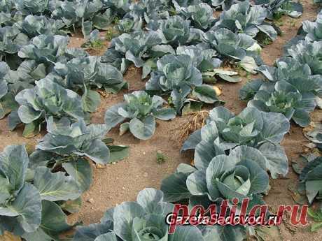 Удобряем капусту... картошкой!