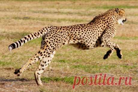 Интересные факты о гепарде Гепард – самое быстрое животное на земле. В то же время он самый слабый из крупных хищников в своей среде обитания. В этой статье мы расскажем всё самое интересное о гепардах …