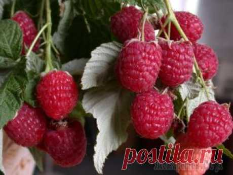 8 rules of care of remontantny raspberry: the guarantee of an excellent harvest Landing of modern highly productive grades of remontantny raspberry does not guarantee receiving a good harvest yet. That from each square meter to collect up to 6 kg of berries and more, behind plants it is necessary a tshcha...