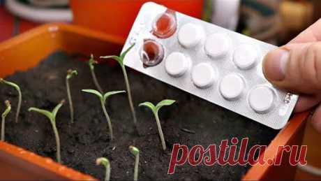 1 Таблетка из аптеки заменит вам все удобрения для рассады! Гидроперит подкормка рассады перца томат