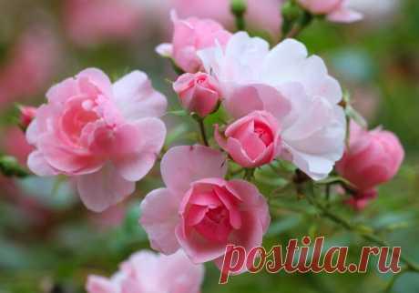 Как правильно пересадить розу после покупки в магазине? | Комнатные растения | Яндекс Дзен