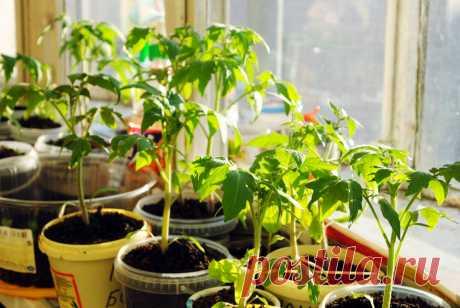 Сколько раз пересаживают рассаду томатов, и что это даёт | Идеальный огород | Яндекс Дзен
