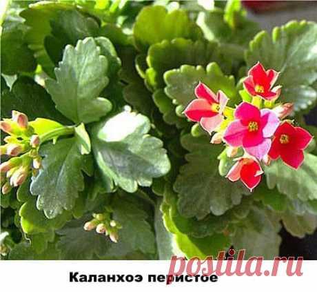 Виды и разновидности Каланхоэ с фото и названиями