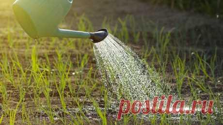 Когда и как посадить лук-севок, чтобы собрать добротный урожай: придется рассказать читателям | Секреты сада и дачи | Яндекс Дзен