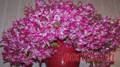 Касторовое масло для пышного и яркого цветения          Давно ли Ваш любимый цветок цвел, как на картинке в интернете или в магазине цветов, не помните? Вот и я уже почти позабыла ?. Вроде и подкармливаю его, а он все не радует пышным цветением. Н…