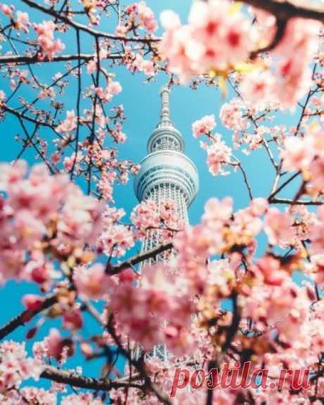 Цветение вишни в Токио