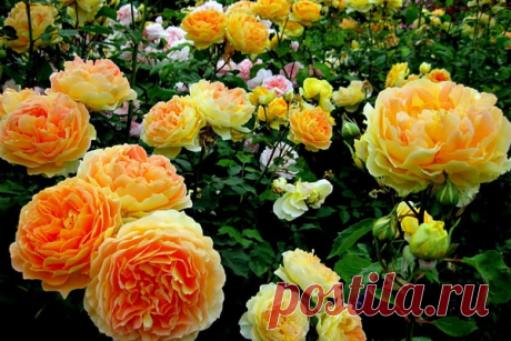 Как омолодить розу