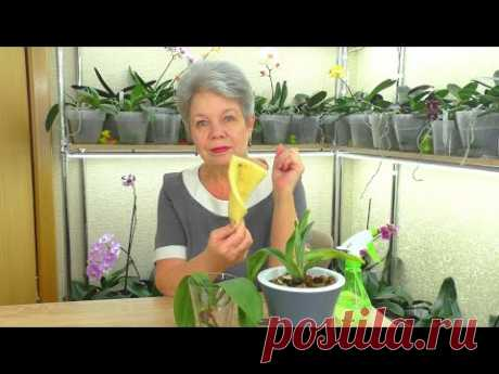В ПОРОЛОНЕ Растут корни Орхидеи? Как нарастить корни у Орхидеи уценки в поролоне? Мой опыт...