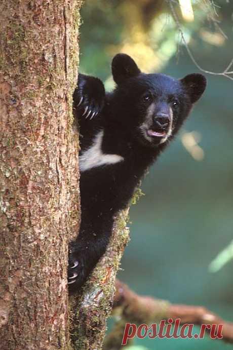 Медведь  на  дереве...