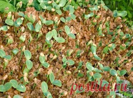 Я выращиваю огурцы... в горячих опилках  Для того, чтобы получить урожай огурцов на две недели раньше обычного я предлагаю вам испробовать нетрадиционный метод выращивания рассады огурцов в... горячих опилках. Этот метод в настоящее время стремительно набирает популярность и имеет ряд очевидных преимуществ перед традиционным.  Только представьте, что при пересадке рассада огурцов может потерять до 50% корней. Именно поэтому грунт из опилок - наиболее подходящий для расса...