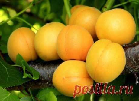 Лучшие сорта абрикосов для средней полосы (фото, описания, отзывы садоводов) | Слива, алыча, абрикос (Огород.ru)