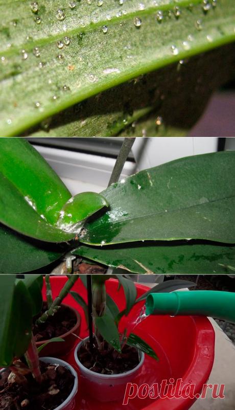 На листьях орхидеи липкие капли: что делать, почему они появились