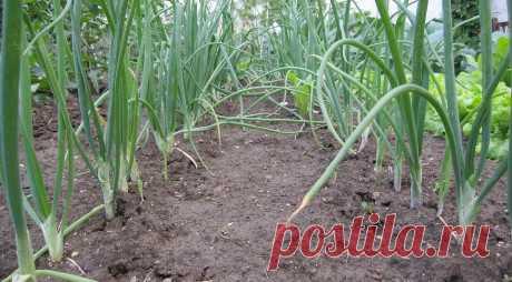 Что посадить после лука: 7 лучших вариантов для хорошего урожая Даем подборку лучших «последователей» лука и рассказываем, почему нельзя высадить на то же место лук снова.