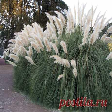 Кортадерия Пумила (Pumila) – Цветник поволжья