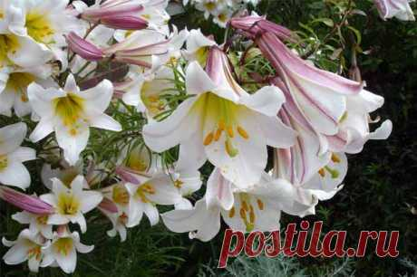 Для тех кто любит лилии: как посадить, ухаживать и выбрать сорт - Дача Своими Руками Невероятно эффектные и экзотичные, лилии с их богатыми, яркими цветами, элегантными, нежными формами