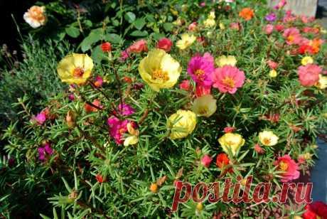 5 цветов, которые за год расползаются самосевом по всему участку как сорняки | посуДАЧИм об огороде | Пульс Mail.ru Такие растения нужно держать под контролем.