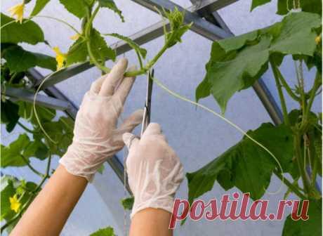 ПОЧЕМУ НУЖНО ОБРЫВАТЬ ЛИСТЬЯ У ОГУРЦОВ: КАК И КОГДА НУЖНО ЭТО ДЕЛАТЬ Для чего нужна процедура Технический прием улучшает урожайность и качество овощей. Своеобразная практика управления, которая помогает контролировать безудержный рост растения. Удаление поврежденных листьев или избыточных побегов помогает обеспечить достаточное питание, что позволяет активно выращивать плоды. Устранение лишних элементов сводит к минимуму затенение и обеспечивает максимальное проникновение солнечного света, что