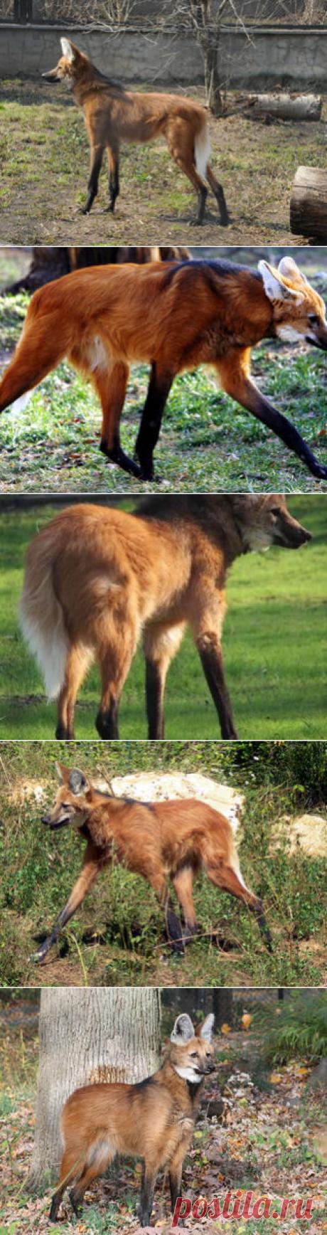 Смотреть изображения гривистых волков | Зооляндия