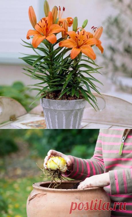 Лилия - цветок: фото и название, как ухаживать за лилиями, в домашних условиях, в горшке