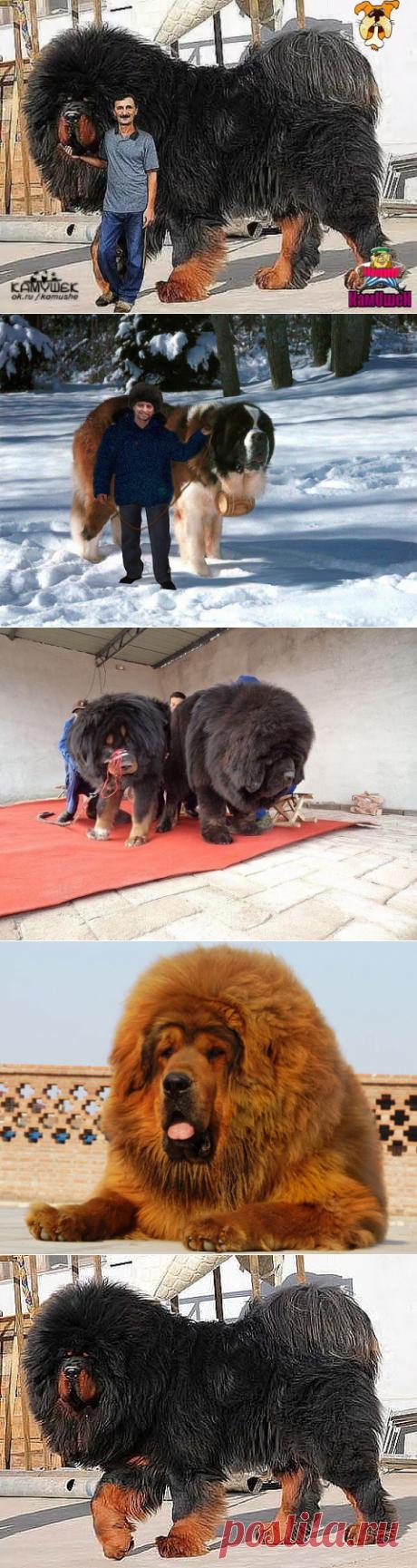 эти собаки максимум в холке 90 см    и весом до 90кг.остальное мех и стоимость от 25000 до200000 с документами.такие собаки не для лентяев.они страдают ожирением