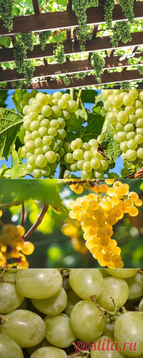 Когда и как правильно обрезать виноград чтобы не лишиться урожая