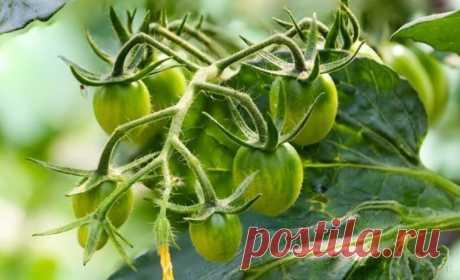 Почему помидоры не формируют завязь, и способы, которые помогут решить проблему