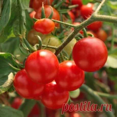 Лучшие сорта помидоров для Сибири: что выбрать