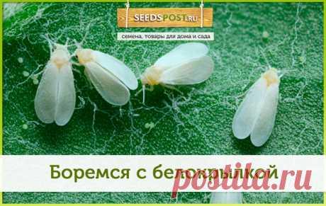 #seedspost_ru_care  Вы знакомы с белокрылкой? Если нет, то это к счастю! А если да, не отчаивайтесь! Мы знаем, как от неё избавиться   Белокрылка — опасный вредитель растений. Эти мелкие летающие насекомые похожи на крошечных белых мотыльков. На листьях поражённой культуры легко заметить мелкие сероватые крупинки - это личинки.  Белокрылка вредит и огородным растениям и  домашним. Часто селится на бегонии, бальзамине, пассифлоре. В теплицах вредитель выбирает томаты и огур...