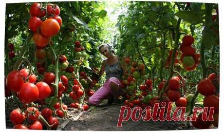 Экономный способ выращивания рассады томатов.
