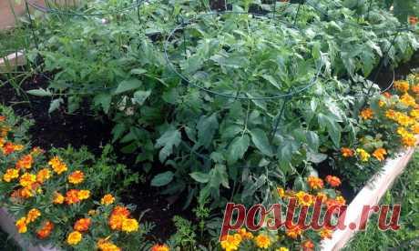 Бархатцы обеззараживают почву и борются с вредителями в огороде | Pentad
