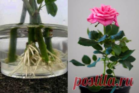 Хотите подарить вторую жизнь букету роз? Научитесь укоренять розы с помощью натуральных удобрений! Даже если вы не профессиональный цветовод или садовник, вы сможете самостоятельно укоренить и вырастить красивую розу.  Зима, это самое подходящее время года для проведения экспериментов в цветоводстве и садоводстве. Поэтому, если у вас в вазе стоит букет роз, которые вы бы хотели видеть на своём