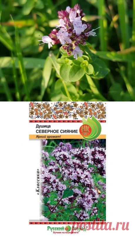 Душица — трава долголетия в вашем саду. Полезность, использование | Дачная жизнь | Яндекс Дзен