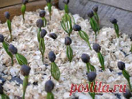 КЕДР ИЗ ОРЕШКА: выращиваем саженцы для посадки на участке