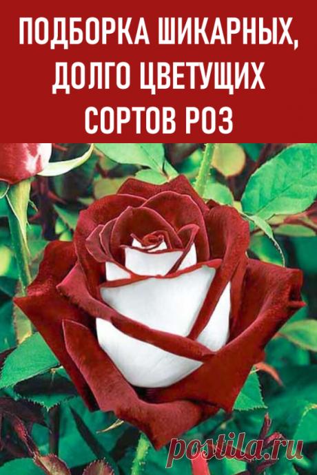Подборка шикарных, долго цветущих сортов роз. Розу заслуженно считают королевой цветов. Красивые бутоны различных оттенков выглядят эффектно и обладают непревзойденным нежным ароматом. Такое чудесное растение отлично украсит клумбу, розарий, приусадебный участок или парк. Большой популярностью у дачников и садоводов пользуются сорта, цветущие все лето. Особенности долгоцветущих роз. #дача #цветы #розы #сортароз #долгоцветущиесортароз #долгоцветущиерозы