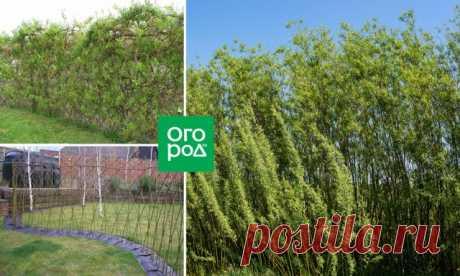 Быстрорастущая живая изгородь – выбираем правильные растения | Прочие многолетники (Огород.ru)