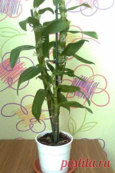 Дендробиум: уход в домашних условиях, фото орхидеи, размножение и пересадка