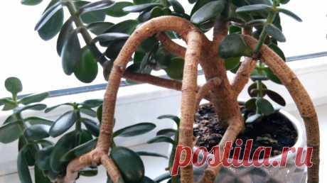 Почему вянет, опадает и ломается денежное дерево   Из Жизни   Яндекс Дзен