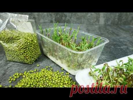 Как вырастить дома без земли микрозелень. Витаминная зелень за 5-6 дней